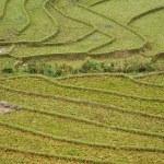Paddy terraces in Sapa, Vietnam — Stock Photo #23983579