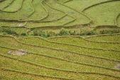 在沙巴,越南水稻梯田 — 图库照片