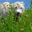 White dog in a meadow, focus in foreground — Stock Photo