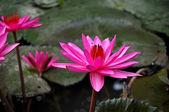 Розовая кувшинка — Стоковое фото