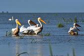 Grands pélicans blancs dans le delta du danube — Photo