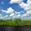 Stock Photo: Swamp vegetation in Danube Delta