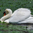 A white swan in the Danube Delta Biosphere Reserve — Stock Photo