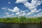 Swamp vegetation in the Danube Delta — Stock Photo