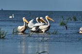 Great white pelicans in the Danube Delta — Stock Photo