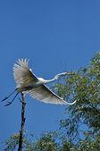 White egret, heron in the Danube delta, a rare and protected bird — Stock Photo