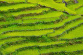 Terraced rice fields. Himalayas, Nepal — Stock Photo