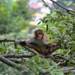 Monkey, Rhesus macaque (Macaca mulatta) — Stock Photo