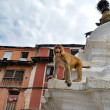 Monkey, Rhesus macaque (Macaca mulatta) at Swayambhunath monkey temple. Kathmandu, Nepal  — Stock Photo