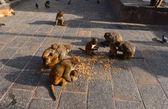 Rhesus macaque (Macaca mulatta) monkey eating corn in Swayambhunath, Nepal — Stock Photo