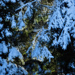 Fir trees covered with snow at winter — Stock Photo