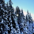 Winter road with snow covered spruces in the mountains  — Stock Photo #36773149