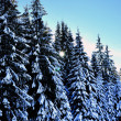 Winter road with snow covered spruces in the mountains — Stock Photo