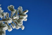 Snow covered fir branch against blue sky — Stock Photo