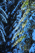 Fir trees covered with snow at winter — Stockfoto