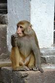 Makaken Affen, Swayambhunath Monkey Tempel. Kathmandu, nepal — Stockfoto