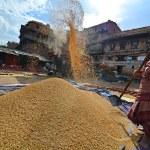 Woman threshing grain in Kathmandu, Nepal — Stock Photo #37374139