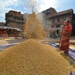 Woman threshing grain in Kathmandu, Nepal — Stock Photo #37374161