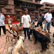 Animal, goat sacrifice in Nepal — Stock Photo