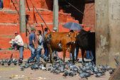 святая корова в катманду, непал — Стоковое фото