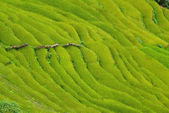 Rice field in Nepal — Stock Photo