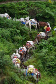 A shepherd with a caravan of donkeys carrying supplies in the Hi — Stock Photo