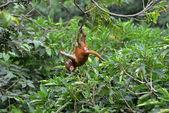 Hraje makak opice v džungli — Stock fotografie