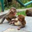 Macaque monkeys at Swayambhunath monkey temple — Stock Photo