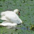 White swan in the Danube Delta, Romania — Stock Video