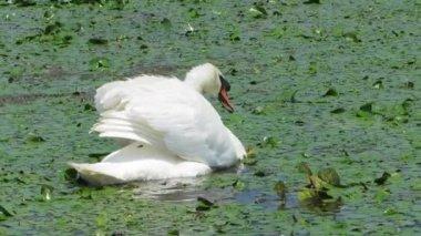 White swan in the Danube Delta, Romania — Стоковое видео