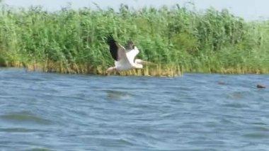 Great white pelicans in the Danube Delta — Vidéo