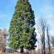 Giant sequoia — Stock Photo #41017901
