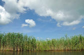 Swamp with sedge vegetation in the Danube Delta  — Stock Photo