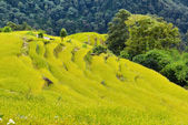 Rice field ready for harvesting in Nepal — Stock Photo