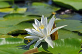 Water lily in the Danube delta — Stock Photo