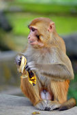 モンキー バナナを食べる — ストック写真