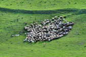 Herd of sheep gathering — Stock Photo