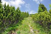 Pinus mugo in the mountains — Stock Photo