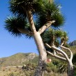 Canary Islands Dragon Trees — Stock Photo