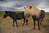 Sarı saçlı atlar — Stok fotoğraf