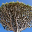 Stock Photo: DracaenDraco treetop