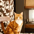 A red and white cat sitting in a retro household — Stock Photo