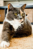 Grey cat with green eyes lays on the carpet — Stock Photo