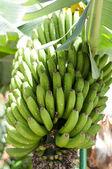 A fresh bunch of bananas — Stock Photo
