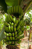 A fresh bunch of bananas — Foto Stock