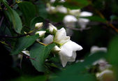 Apple tree white blossoms close up, white blossoms at background — Stock Photo