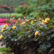 Yellow roses blooming in the colorful summer garden. — Stock Photo #12462508