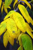 Jesień natura. żółty i zielony liści na pnie drzew — Zdjęcie stockowe