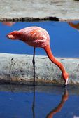 Pink flamingo drinking water — Stock Photo