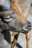 Keçi kafası profil portre — Stok fotoğraf
